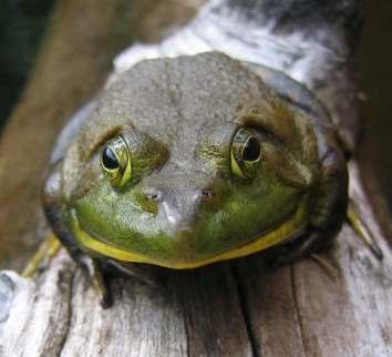 bull_frog